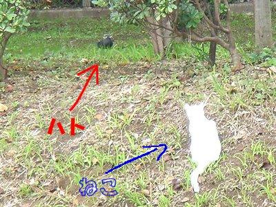 ハトを狙うネコ