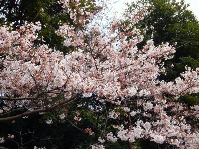 三渓園のソメイヨシノ