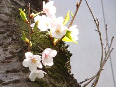 2010桜見納めな日