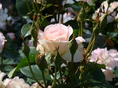フレンチと美女とバラ