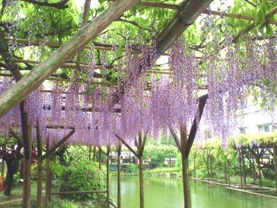 雨の亀戸天神 藤祭り