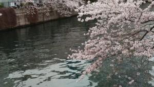 2016 年桜!