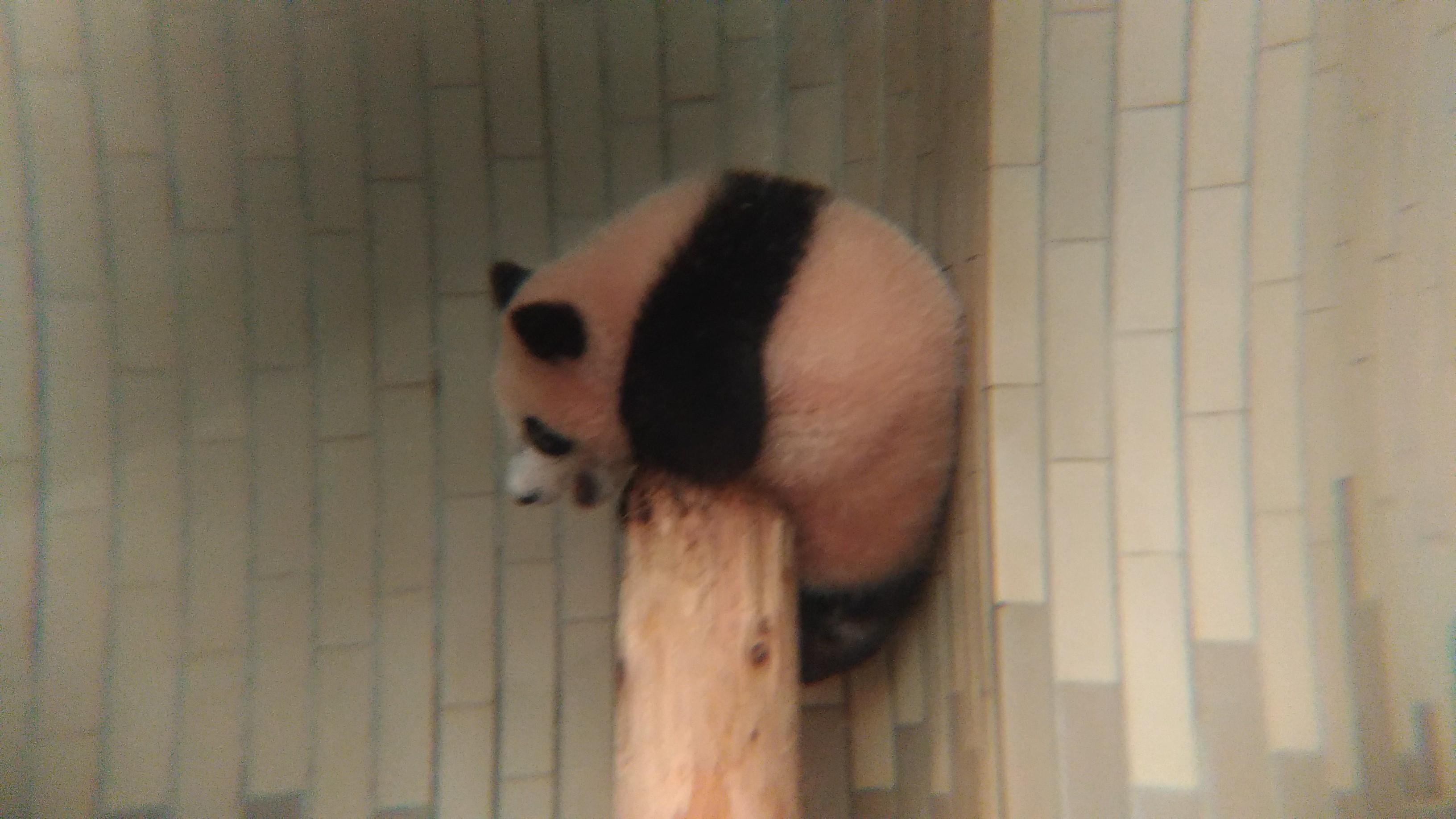 上野動物園 シャンシャン見てきた!